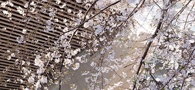 Kirschblüten Zweige